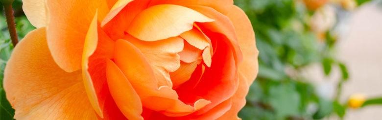 バラの薫りに包まれる